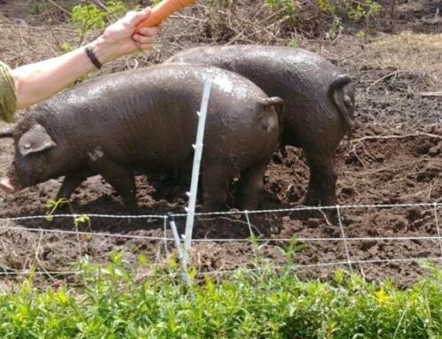 Pig Bucket